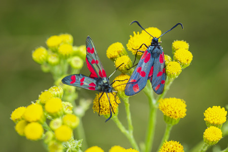 Closeup of a six-spot burnet butterfly Zygaena filipendulae, pollinating on ragwort yellow flowers Jacobaea vulgaris during daytime. Foto de archivo