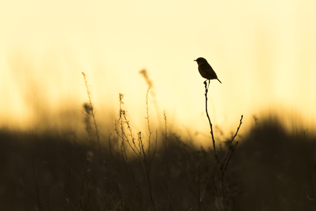 Silhouette of a stonechat bird, Saxicola rubicola, close-up in the morning sun
