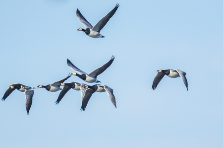Close-up of Canadian geese Branta canadensis in flight migrating
