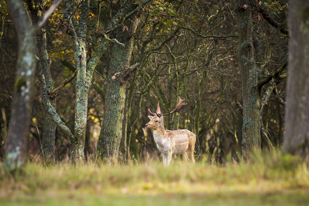 Fallow deer (Dama Dama) male walking in a forest. The Autumn sunlight and nature colors are clearly visible on the background. Stockfoto - 117473042