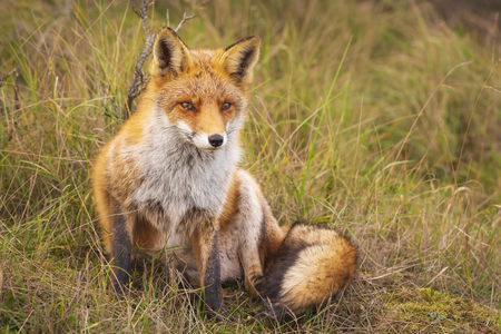 Closeup of a wild young red fox (vulpes vulpes) resting in a forest.