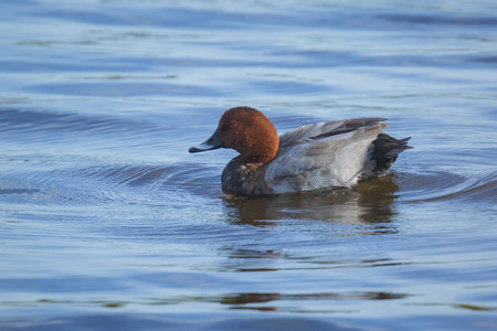 Closeup of a male common pochard Aythya ferina duck swimming in blue water