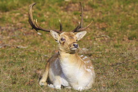 Fallow deer (Dama Dama) stag with big antlers resting in a meadow. The nature colors are clearly visible on the background, selective focus is used. Stockfoto - 117473242