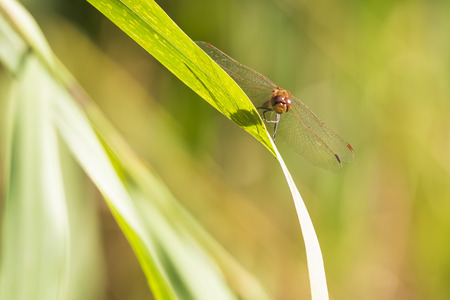 Red male common Darter Sympetrum striolatum dragonfly with his wings spread he is drying his wings in the early, warm sun light Standard-Bild