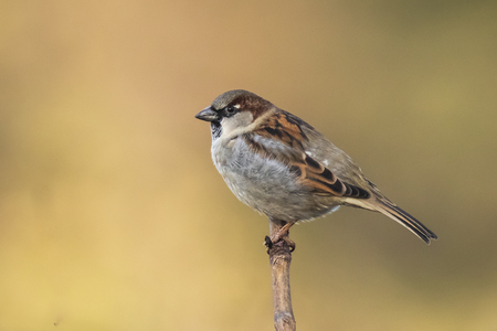 Closeup of a male House Sparrow bird passer domesticus foraging in a hedge
