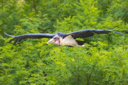 Closeup of a Marabou stork Leptoptilos crumenifer bird in flight on a green background Stock Photo