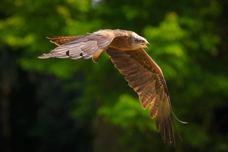 Schwarzmilan Milvus migrans Raubvogel im Flug, Jagd an einem sonnigen Tag.