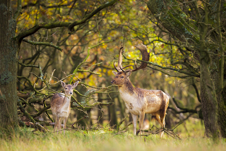 Fallow deer (Dama Dama) male walking in a forest. The Autumn sunlight and nature colors are clearly visible on the background. Stockfoto - 118381077