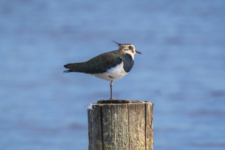 Closeup of a northern lapwing, Vanellus vanellus, perched on a wooden pole. Banco de Imagens