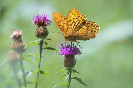 Closeup of a Silver-washed fritillary butterfly, Argynnis paphia, with spread wings feeding on thistle flowers in a dreamlike setting. The patterns on the wings are clearly visible.
