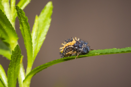Ladybug insect larva or pupacloseup. Pupal stage on green vegetation closeup. 版權商用圖片
