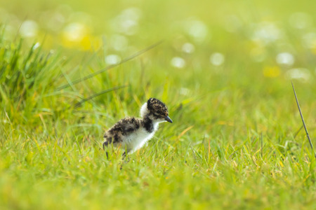 Northern lapwing Vanellus vanellus small newborn chick exploring a meadow with flowers on the background in Springtime season.