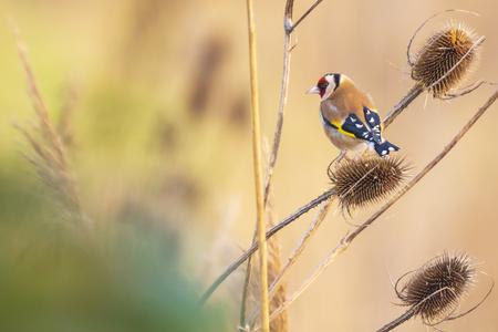 European goldfinch bird, Carduelis carduelis, feeding on seeds on a head of Teasel Dipsacus