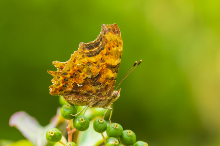 Comma butterfly Polygonia c-album resting on vegetation in a forest side view
