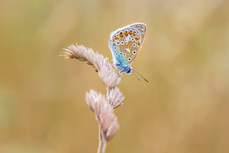 Common Blue butterfly, Polyommatus icarus resting in a meadow during a sunny colorful sunset. Bright and vibrant colors. Stock Photo