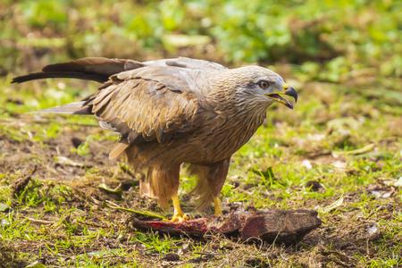 Black kite Milvus migrans eating meat Banco de Imagens