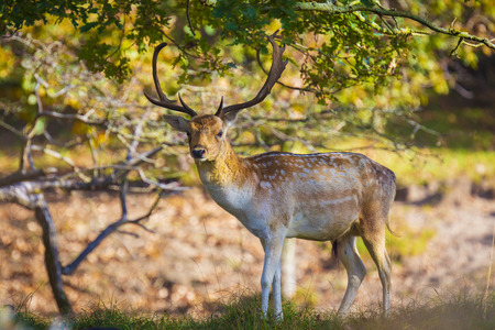 Fallow deer (Dama Dama) male walking in a forest. The Autumn sunlight and nature colors are clearly visible on the background. Stockfoto - 120988698