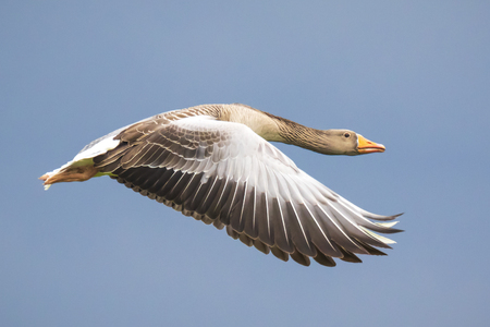 Closeup of a greylag goose (Anser Anser) in flight against a blue sky Banco de Imagens