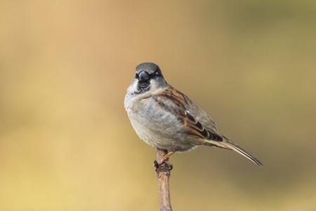 Nahaufnahme eines männlichen Haussperlings Vogel Passer Domesticus auf Nahrungssuche in einer Hecke