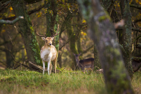 Fallow deer (Dama Dama) male walking in a forest. The Autumn sunlight and nature colors are clearly visible on the background. Stok Fotoğraf