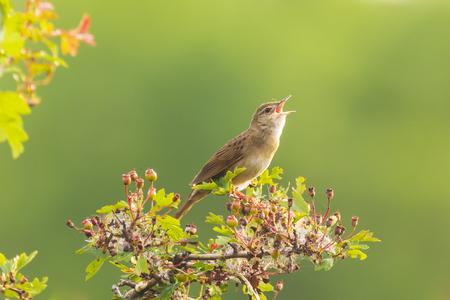 Gemeinsamer Grasshopper Warbler brauner Singvogel Locustella naevia Paarung auf einem Ast im Frühling in einem Wald. Standard-Bild
