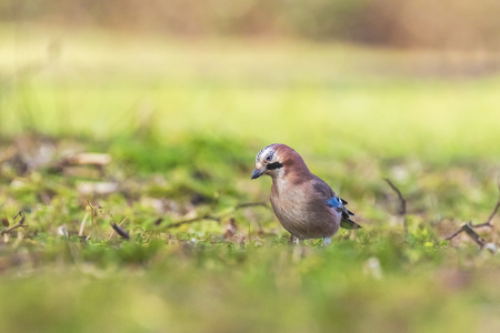 Eurasian jay bird Garrulus glandarius searching in a meadow for insects to feed.