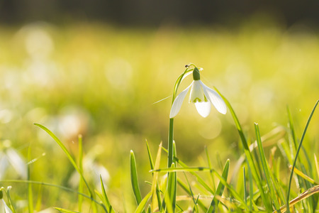 Common snowdrop Galanthus nivalis flowers blooming in sunlight on a green meadow. small focus depth technique.