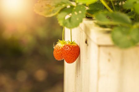 Red, ripe strawberry fruits in a green botany garden. Sunlight lensflare Imagens