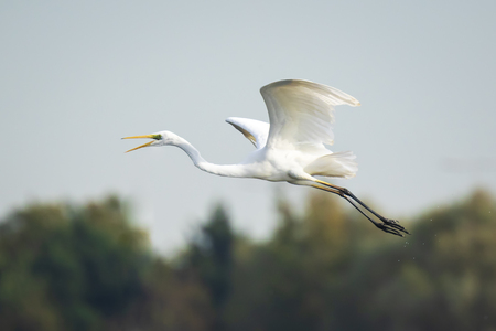 Closeup of a  great egret Ardea alba in flight, fishing in a lake during sunset 写真素材