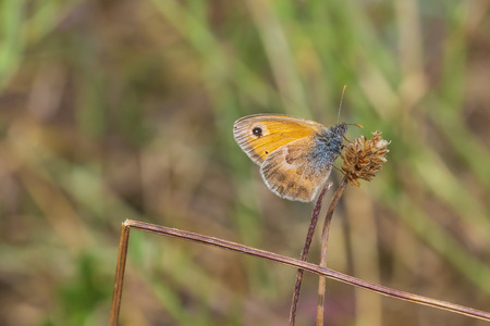 Closeup of a small heath butterfly (Coenonympha pamphilus) resting in sunlight on a pink flower with wings closed