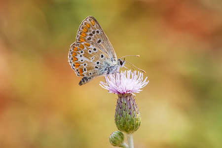 small brown hairstreak butterfly Thecla betulae and feeding nectar on a flower Stock Photo
