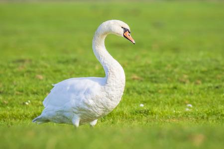 Mute swan, Cygnus olor, posing in a grass field farmland Reklamní fotografie