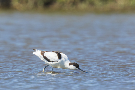 Pied Avocet Recurvirostra avosetta wading bird foraging in shallow water on a sunny day