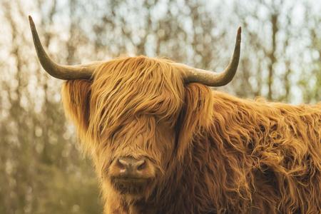 Primer plano de ganado Highland rojo marrón, raza de ganado escocés (Bos taurus) con largos cuernos caminando a través de brezos en brezales.