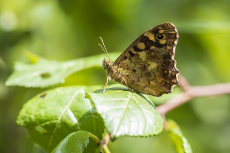 Side view of a speckled wood butterfly, Pararge aegeria. Resting on a leaf in a forest with wings open Imagens