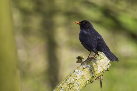 A male european Blackbird turdus merula singing in a tree with on a cloudy day in Spring season.