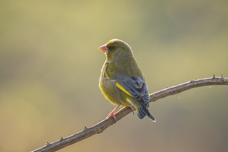 Colorful greenfinch bird Chloris chloris singing in Springtime Imagens