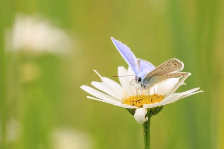 Side view of a male Common Blue butterfly (Polyommatus icarus) pollinating on a flower in a meadow under bright sunlight. Reklamní fotografie