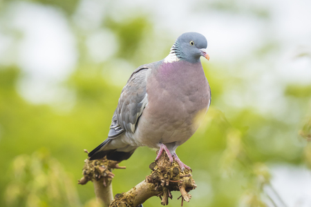 Close-up of a wood pigeon, columba palumbus, perched in a tree during spring season