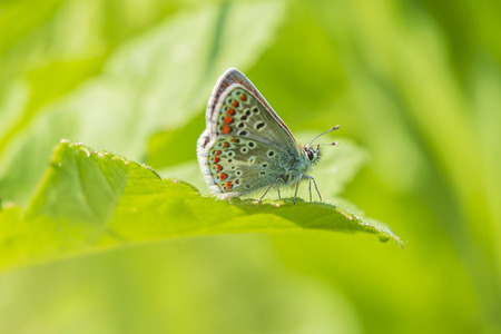Close up of a female brown argus butterfly, Aricia agestis, resting on vegetation