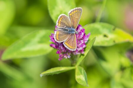 Close up of a female  brown argus butterfly, Aricia agestis, resting on vegetation Stock Photo
