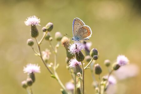 Early morning Common Blue butterfly (Polyommatus icarus) pollinating on a flower in a meadow under bright sunlight.