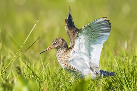 Common redshank tringa totanus perched and foraging in farmland. These Eurasian wader bird are breeders in the grassland of the Netherlands. 写真素材