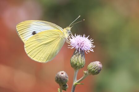 Closeup side view of a Pieris brassicae, the large white or cabbage butterfly pollinating on a flower. 写真素材