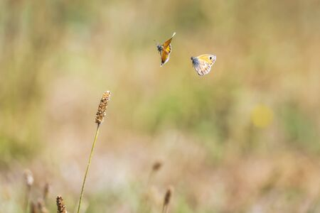 Two small heath butterfly (Coenonympha pamphilus) flying in sunlight above a meadow.