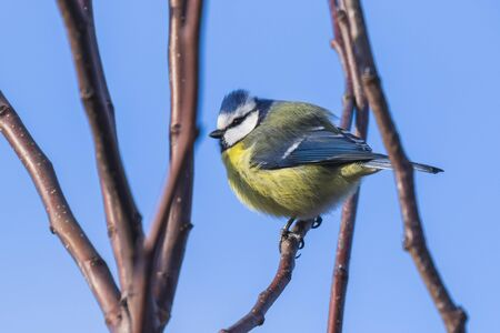 Oiseau mésange bleue eurasienne Cyanistes caeruleus sur un fond de ciel bleu clair par une journée d'hiver ensoleillée.
