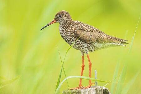 Common redshank (tringa totanus) perched on a pole in farmland.