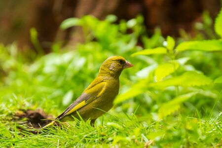 Colorful greenfinch bird Chloris chloris perched on forest floor. Low point of view, selective focus