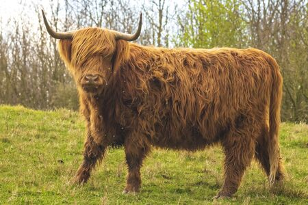 Closeup of brown red Highland cattle, Scottish cattle breed (Bos taurus) with long horns walking through heather in heathland.