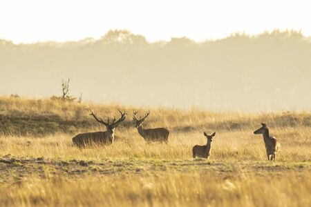 Herd of red deer cervus elaphus rutting and roaring during sunset, rutting during mating season on a landscape with hills, fields and a beautifull sunset 写真素材